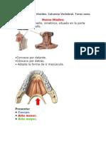 Esqueleto Axil.hiodes.columna Vertebral.torax Oseo.msouDRE