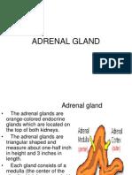 Adrenal Gland1
