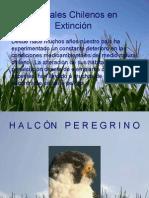 Animales Chilenos en Extinción