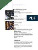 Albizia polycephala