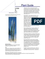 Broad Leaved Cattail