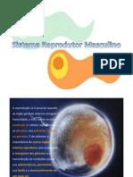 Sistema_Reprodutor_Masculino