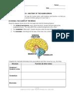 08 Lab Brain Anatomy