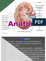Anatomía riñon