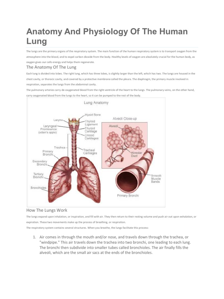 Anatomy | Lung | Respiratory System