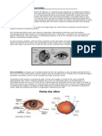 Anatomia Dos Olhos - O Globo Ocular