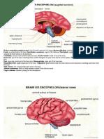 Brain or Encephalon