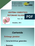 Estomago Glandular