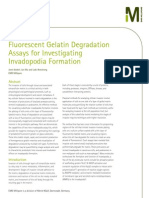 Fluorescent Gelatin Degradation Assays for Investigating Invadopodia Formation