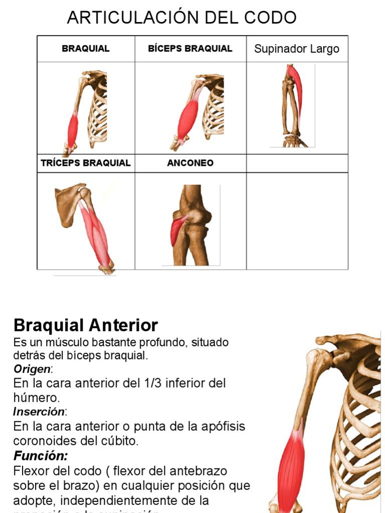 Perfecto Inferior Anatomía Brazo Imágenes - Imágenes de Anatomía ...