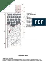 FISIOLOGÍA DE LA PIEL.docx expocision