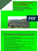 El cultivo del olivo en Andalucía