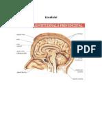 Encefalul, cerebelul, diencefalul