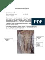 Disección Región Plantar Del Pie-Leidy Tatiana Pedriza