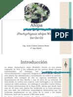 Ahipa (Pachyrhizuz ahipa)