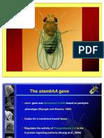 StmA Gene Drosophila