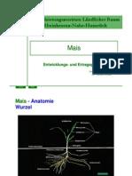 Mais Entwicklungsphysiologie 2007