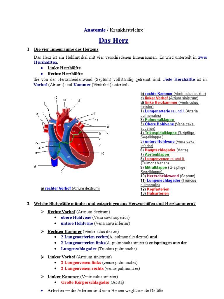 Anatomie- Das Herz