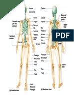 Copy of Skeletal Edited
