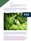 Guyabano - Soursop Fruit