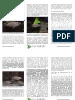 neolamprologus multifasciatus en el acuario y en la naturaleza