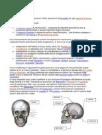 Anatomia Del Cranio