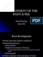 Development of the Root & Pdl