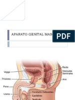 Aparato Genital Masc