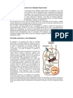 Glandula Adrenal Fetal