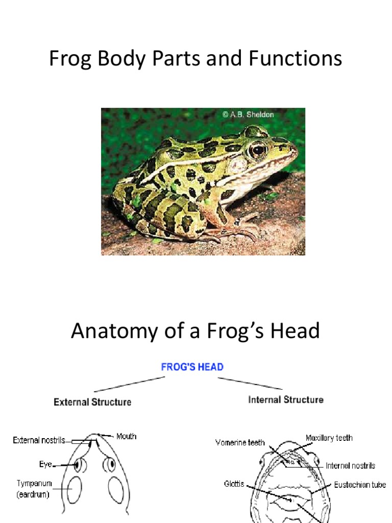 Frog Body Parts and Functions   Reproductive System   Heart