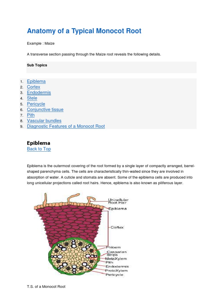 Anatomy Of A Typical Monocot Root Tissue Biology Root