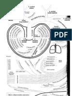 Arterias - Tronco Arterial Braquiocefalico - Sistema de Carotid