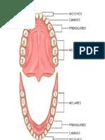 La Denticion Humana 1