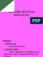Anatomi Genitalia Masculina