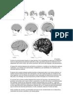 El cerebro humano ha evolucionado durante un largo período