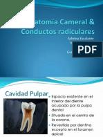 Anatomía Cameral & Conductos radiculares