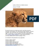 Guepardos o Chitas en Su Habitat Natural
