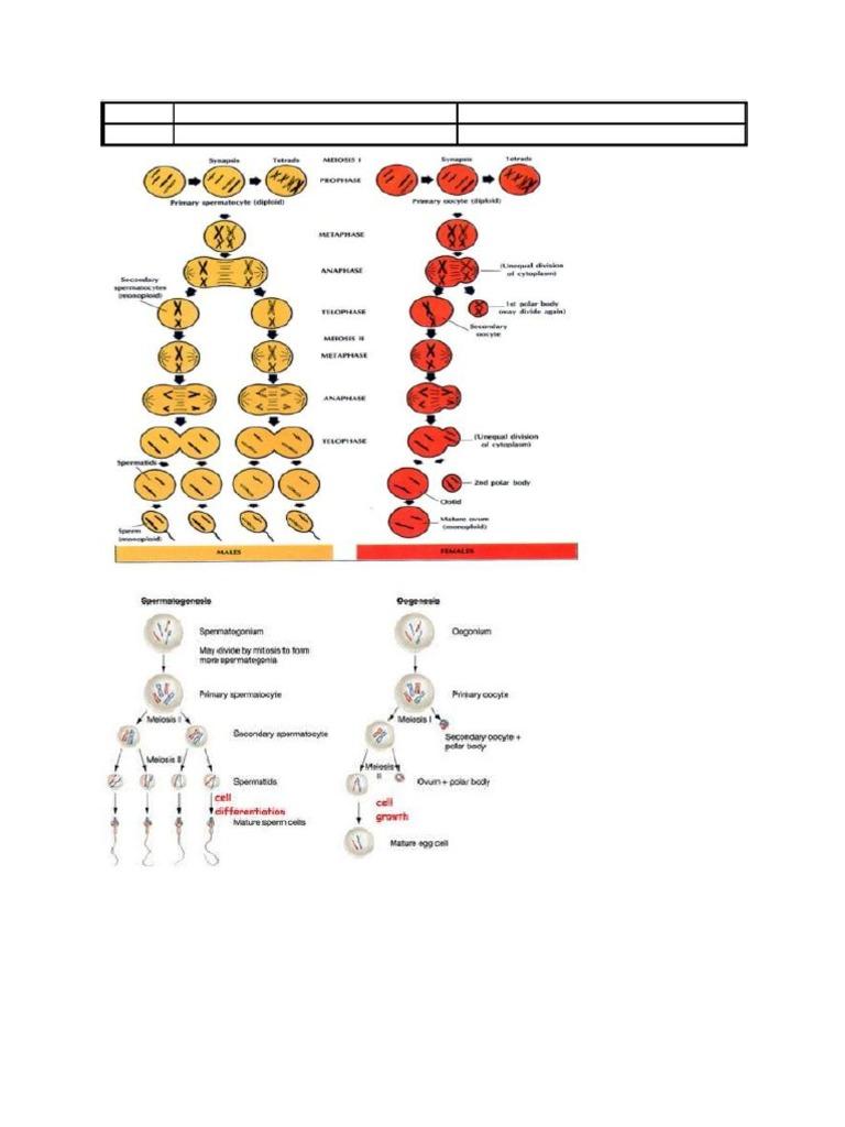 Tabel perbedaan spermatogenesis dan oogenesis ccuart Image collections