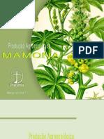 Cultivo de Mamona Agroecologica