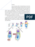 Células Germinales Embrionarias