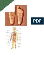 Reflexologa y Los Organos