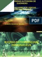 Macracanthorhynchus Ir
