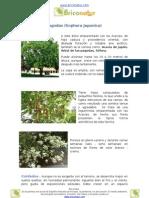 Árbol de las Pagodas (Sophora Japonica)
