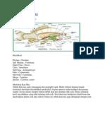 Anatomi Ikan Mas