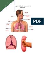 Adaptações Cardio-respiratórias ao
