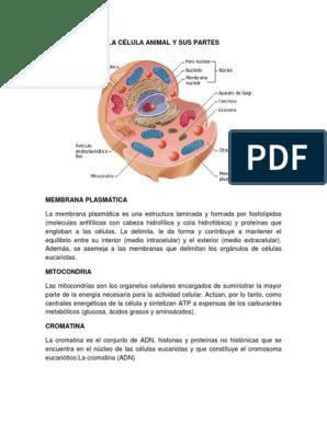La Célula Animal Y Sus Partes Ribosoma Biología Celular