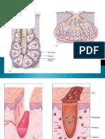 Integ Muscle to Skeletal System