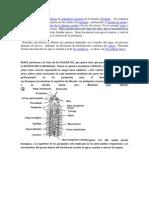 Nereis descubridor del  género de poliquetos gusanos de la familia Nereidae