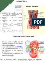 Histologia Sistema Renal