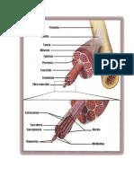 El músculo está recubierto por una membrana llamada epimisio y está formado por fascículos